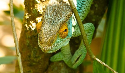 Madagascar_lizards